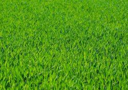 Flot og slidstærk græsplæne med rullegræs
